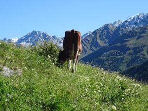 Vache dans les alpages
