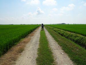 Dans les rizières- Vercelli
